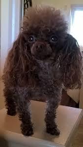 teacup poodle mi goldenacresdogs