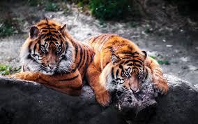 تحميل خلفيات حديقة الحيوان الحجر النمور الحيوانات المفترسة