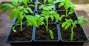 How And When To Transplant Tomato Seedlings From Seed Tray