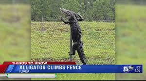 Alligator Climbs Fence In Florida Youtube