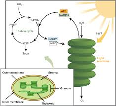 the calvin cycle article