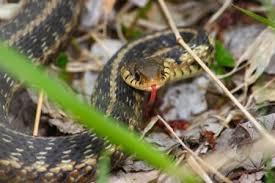 garter snake care advice for beginners
