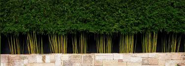 Image Of Live Bamboo Fence Garden Pinterest The O Jays Privacy Screen Plants Bamboo Screening Plants Screen Plants