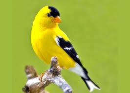 Image result for chim hót đầu xuân