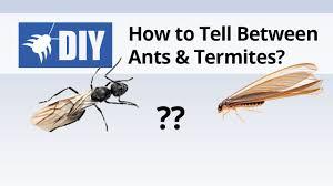 View Sugar Ants Vs Termites Pics