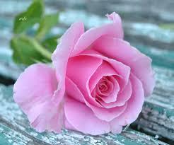 صور ورود حلوه صورة اجمل زهور في العالم صباح الورد