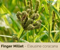 finger millet facts and health benefits