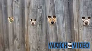 Dog Owner Cuts Eye And Snout Holes In The Garden Fence So Her Two Labradors Can Watch Her Come Home
