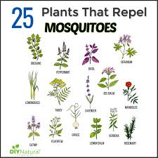 mosquito repellent plants 25 plants