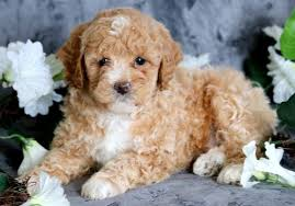 toy poodle puppies puppy