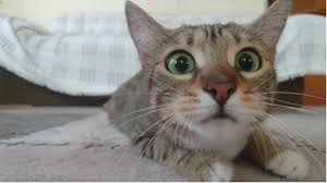 صور قطط مضحكة لجمل صور القطط اللطيفة كلام نسوان