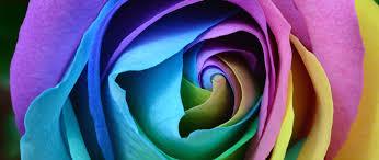free hd beautiful rose flower