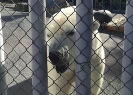 Popular Anchorage Polar Bear Unexpectedly Dies