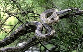 snake anaconda wallpapers hd free