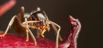View Pharaoh Ant Treatment  Background