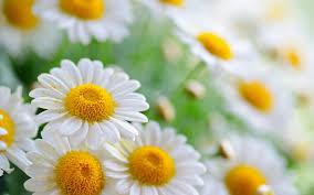 20 خلفية زهور رائعة عالية الدقة مجانا Beautiful Flowers