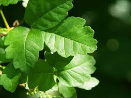 poison oak skin rashes andrew weil