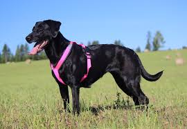 Shorty Harness Listing Large Pink
