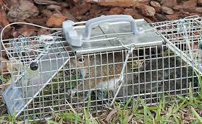 how to trap squirrels