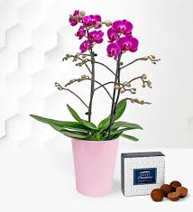 phalaenopsis orchids free chocs