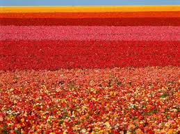 صور ورود متحركه Flower Field Carlsbad Flower Fields San Diego