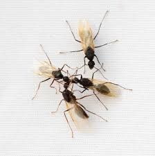 Get Flying Ants In House  Images