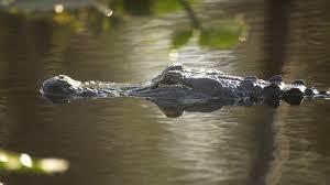 Crocodiles Can Climb Straight Up Trees Los Angeles Times