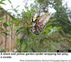 black and yellow garden spider nc
