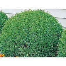 2 Gallon White Green Velvet Boxwood Foundation Hedge Shrub In Pot L7205 In The Shrubs Department At Lowes Com