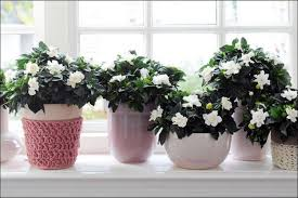 growing gardenias indoors valuable