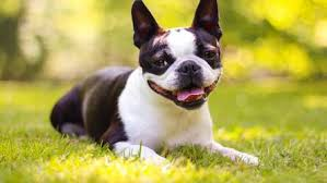 boston terrier hd wallpaper new tab