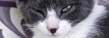 can cats get conjunctivitis or pink eye
