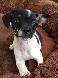 santa barbara ca toy fox terrier