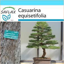seeds bonsai sea ironwood filao
