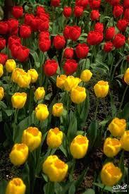 ورود وزهور من الطبيعة صور من الطبيعة جميلة ورود بألوان مختلفة حسناء