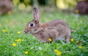 10 Best Rabbit Repellent For Gardens Lawns 2020 Reviews