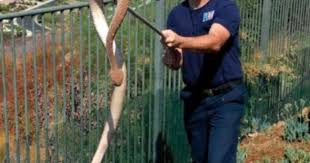 6 Foot Long Rattlesnake Found In San Diego After Nearly Attacking Dog