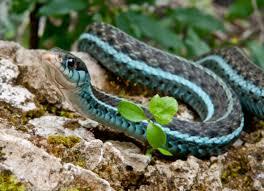 garter snake care sheet petmd