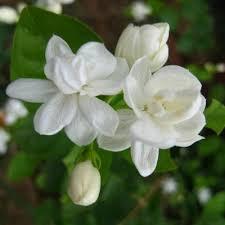gambar bunga melati putih tercantik bunga bunga eksotis