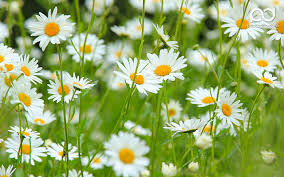 20 خلفية زهور رائعة عالية الدقة مجانا Daisy Wallpaper Daisy
