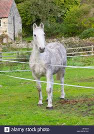 A Grey Horse In A Paddock Restrained By An Electric Fence Stock Photo Alamy