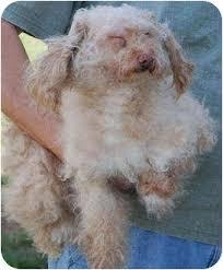 gallatin tn poodle miniature meet