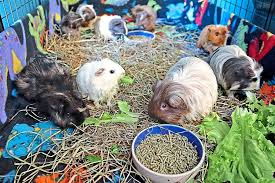opens home to rescued guinea pigs