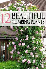 12 beautiful climbing plants with