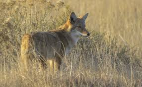 Use Simple Protective Measures To Keep Coyotes At Bay Chicago Tribune