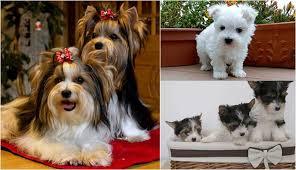 yorkshire terrier puppies teacup