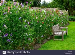 Growing Sweet Peas High Resolution Stock Photography And Images Alamy