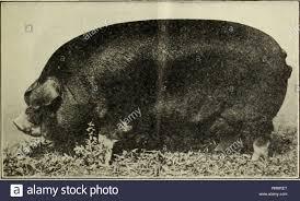Breeds of swine. Swine breeds. BREEDS OF SWINE. 5 THE POLAND-CHINA. The  Poland-China hog