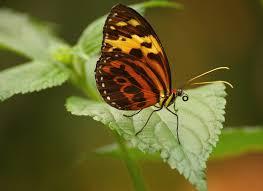 Darmowy obraz: owad, Motyl, przyrody, natura, roślina, zioło, kwiat