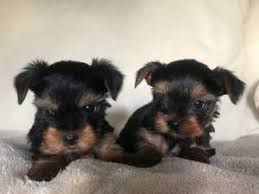 dog breeders dog kennels miniature